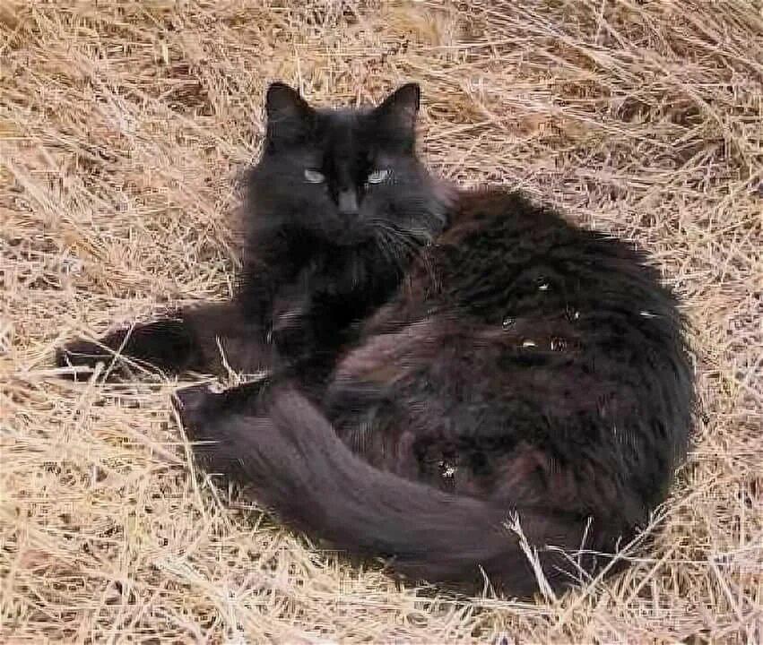 Описание породы кошек шантильи тиффани