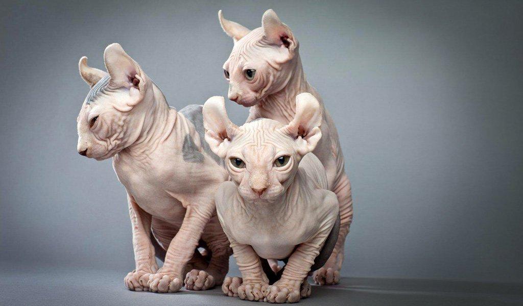 Какие породы кошек считают самыми агрессивными: топ-10 питомцев с непростым характером