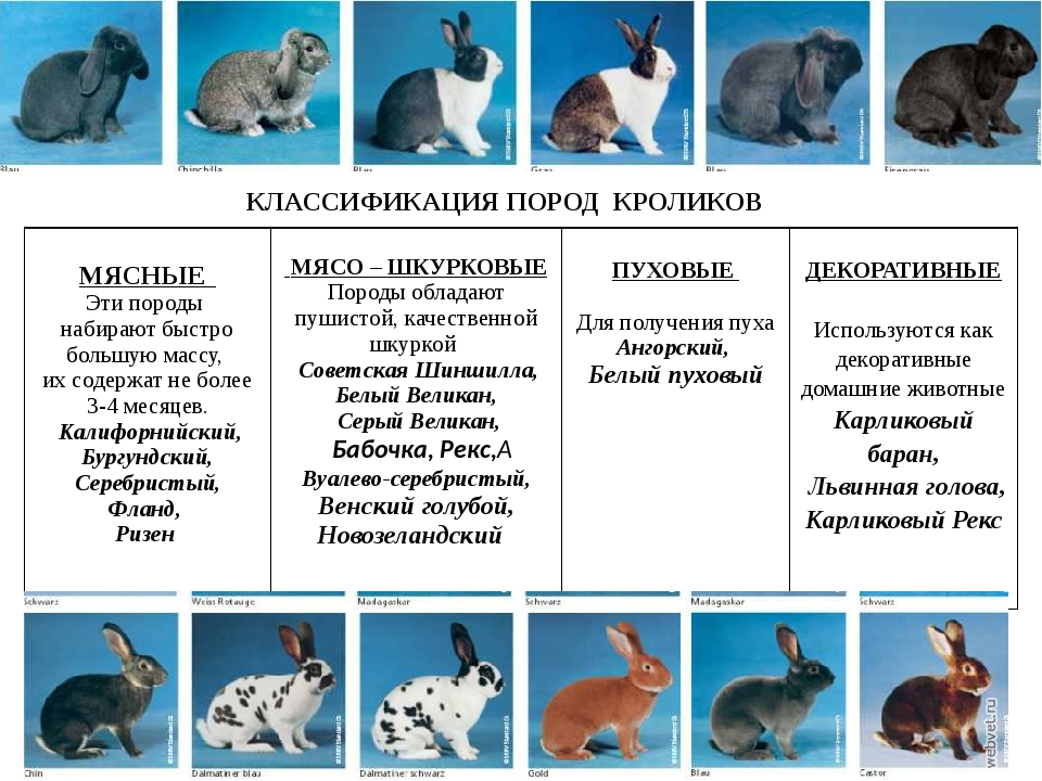 Карликовый кролик: виды, размеры, интересные факты, красивые фото, особенности выбора и содержания в домашних условиях