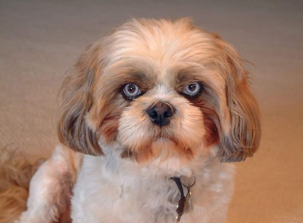 У каких собак выпадают глаза — список пород с фото и названиями