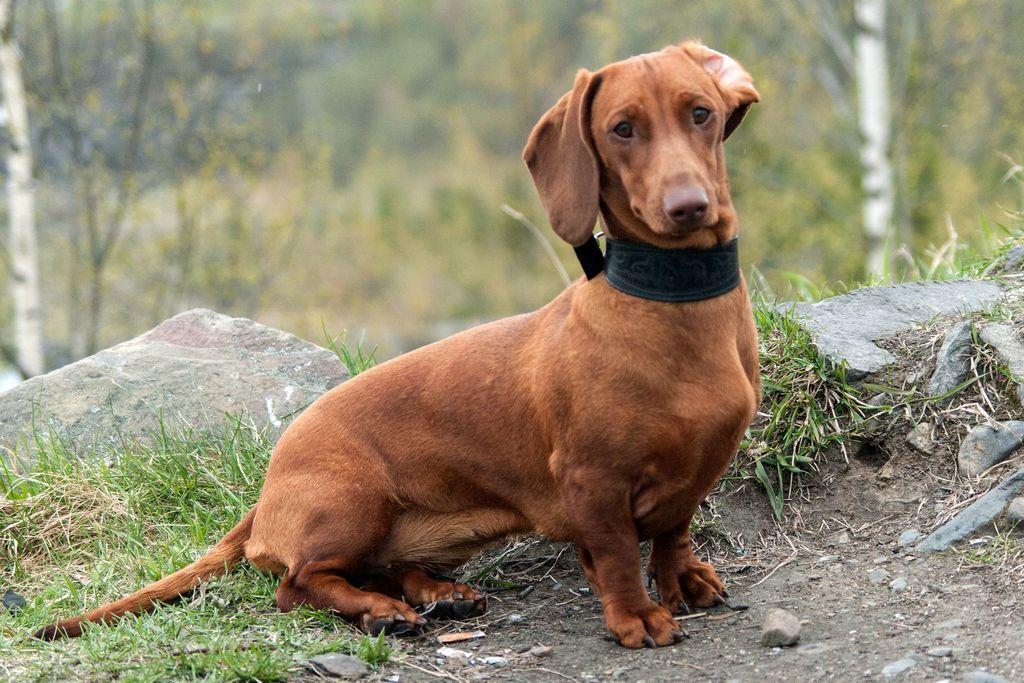 Таксы - характеристика породы, как выглядит собака, особенности по уходу за таксами