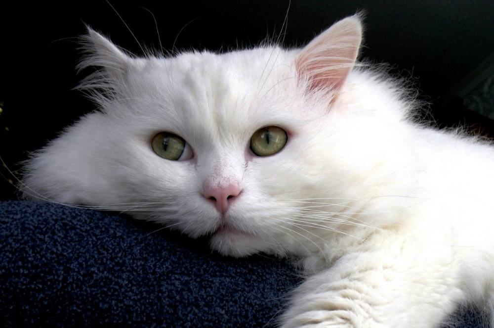 Гемолитическая анемия у собак и кошек
