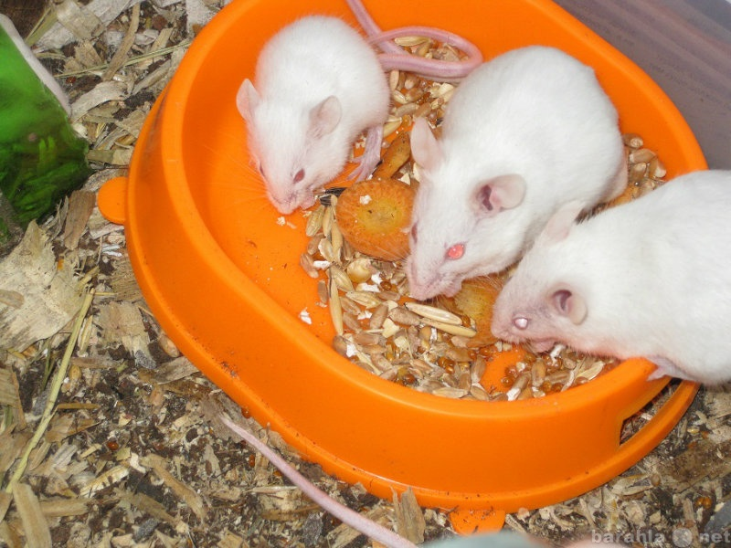 Декоративные мыши - уход и содержание, болезни, фото мышей.