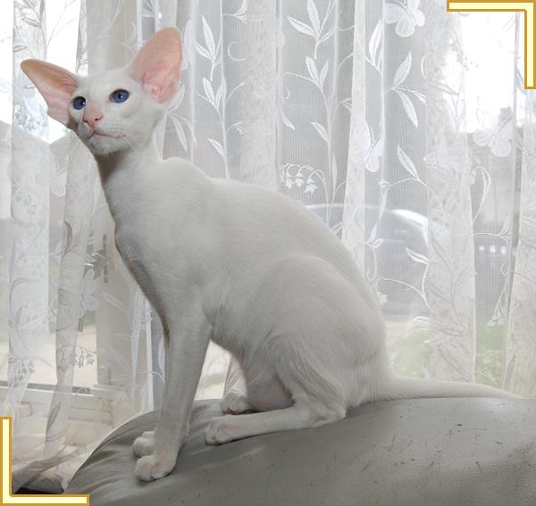 Форин вайт: уход за котом в домашних условиях