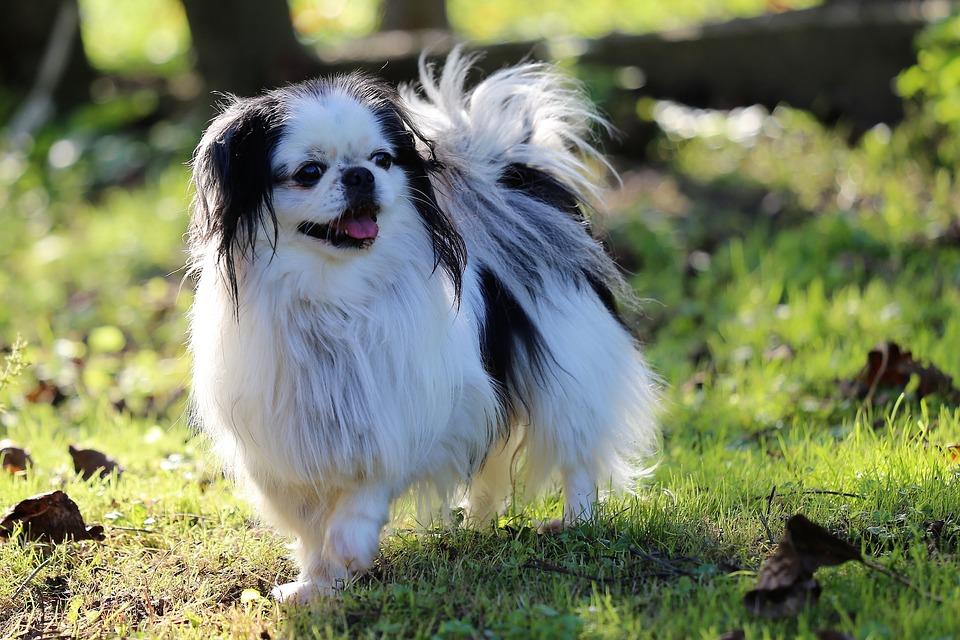 Японский хин: описание породы собак, характер, цена