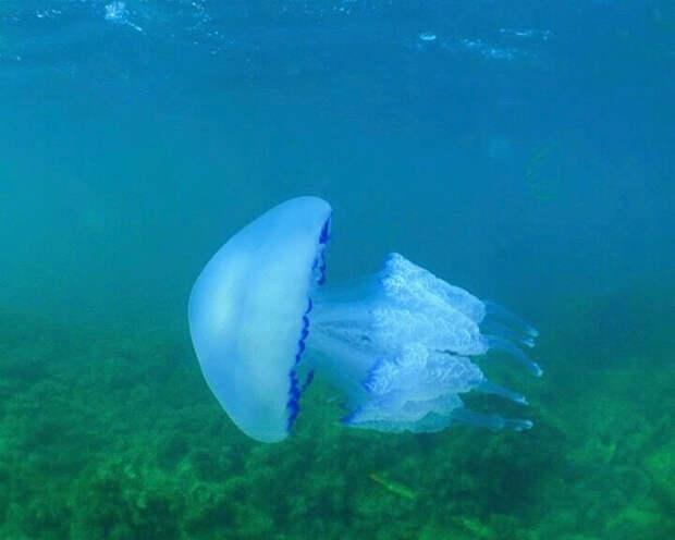 Почему много медуз у берега черного моря