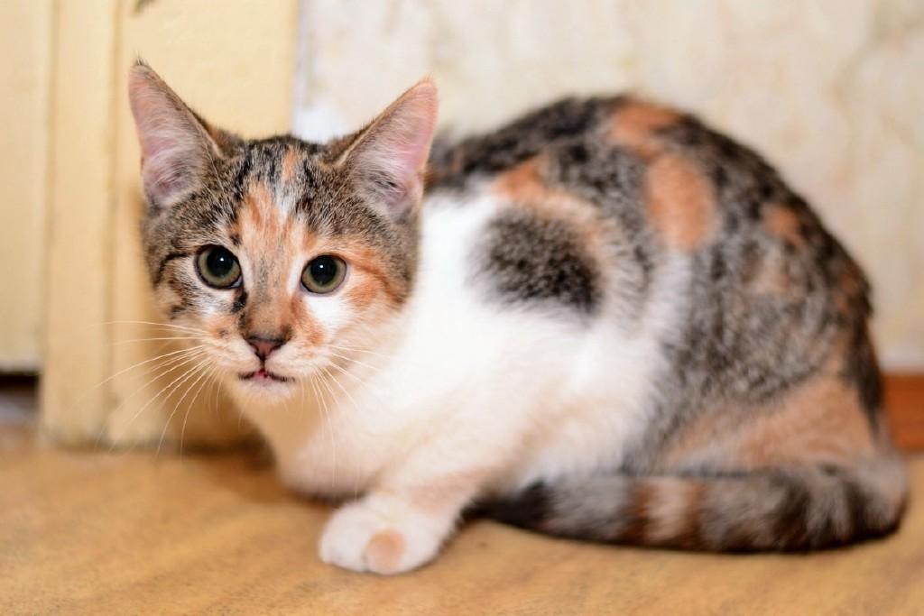 Породы трёхцветных кошек — список, характеристика и фото