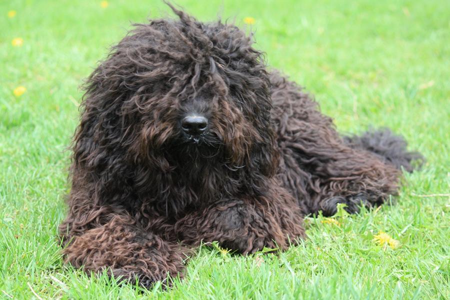 Испанская водяная собака - фото, цена, описание, видео