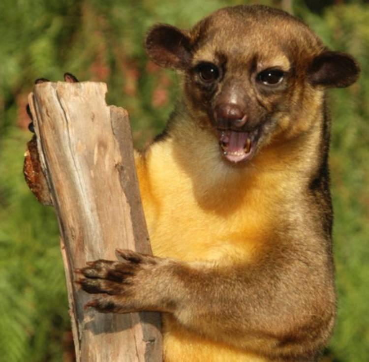 Кинкажу животное. среда обитания и образ жизни кинкажу | живность.ру