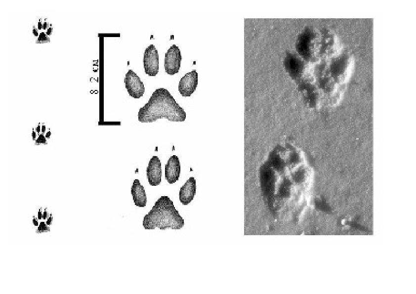 Собачий след на снегу. следы собаки — фото и фотографии
