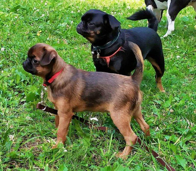 Пти брабансон: описание породы собак и история, стандарт, фото, щенки гриффон черный, минусы, цена, характер и вес взрослой, отзывы, сколько живут