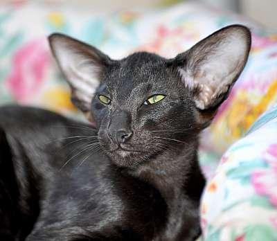Ориентальная кошка или ориентал