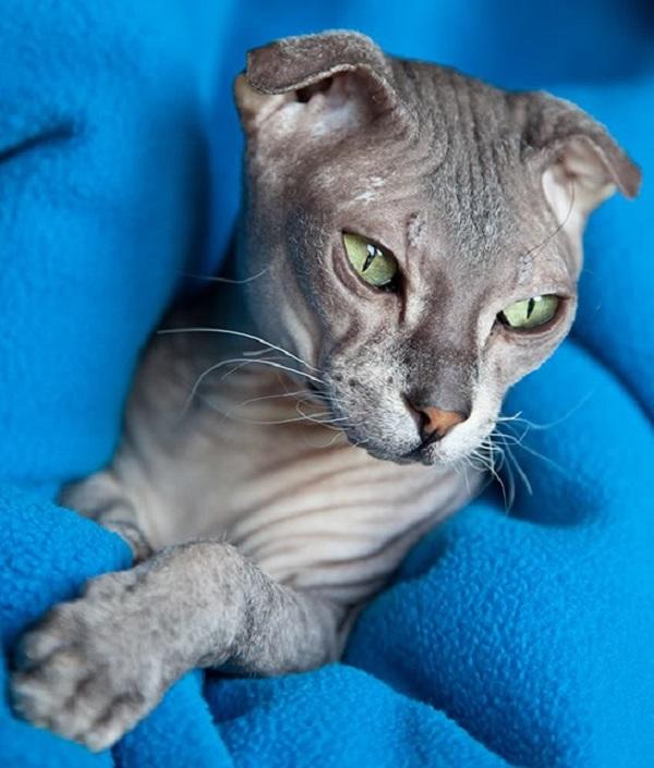 Кто такой украинский левкой и чем он отличается от других сфинксов - мир кошек