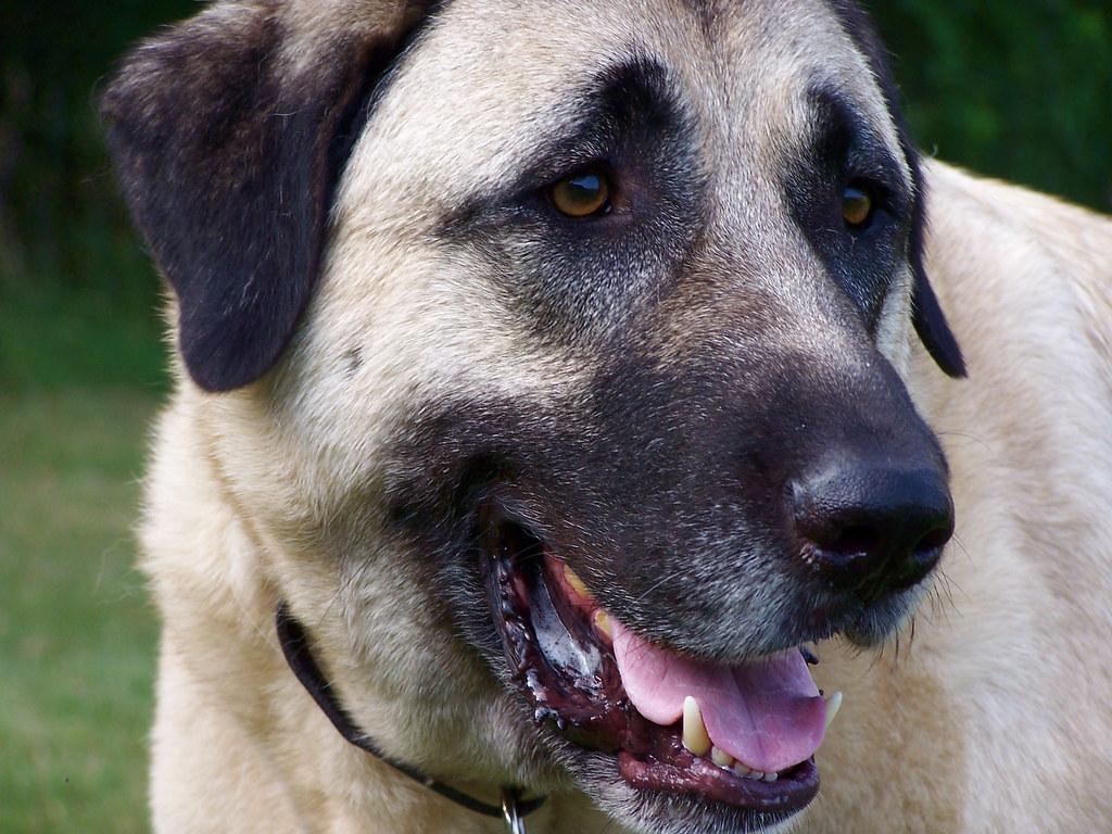 Собака кангал или анатолийская овчарка: 145 фото, видео описание и советы от владельцев и кинологов