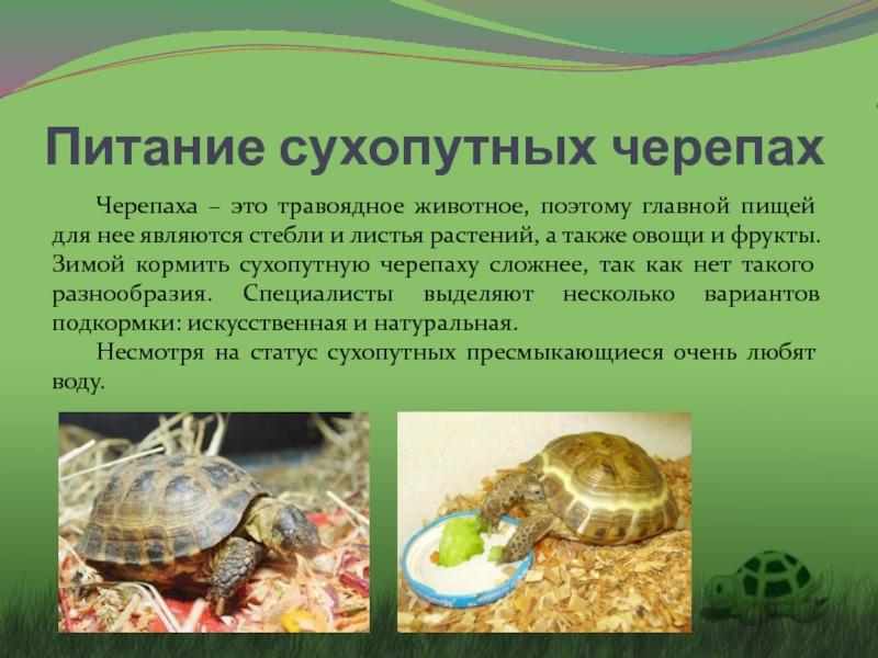 """Уход за сухопутной черепахой в домашних условиях   блог ветклиники """"беланта"""""""