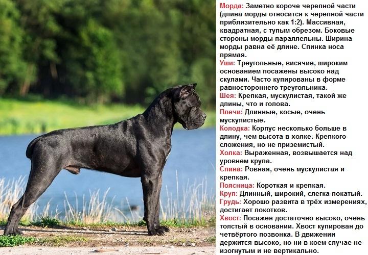 Кане-корсо (87 фото): описание собак породы итальянский мастиф, стандарт щенков, отзывы владельцев