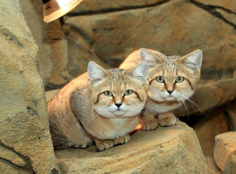 Барханный кот – описание уникальной породы, где обитает в природе и особенности содержания дома