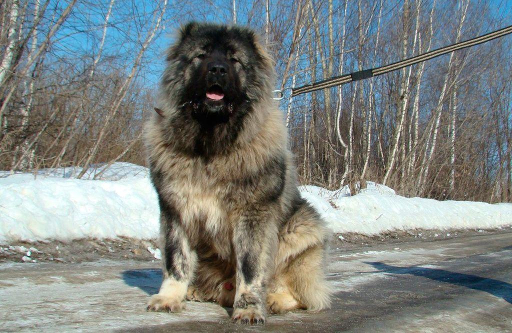 Кавказская овчарка: характеристика и размеры, дрессировка, полное описание, характер собаки и щенка, фото