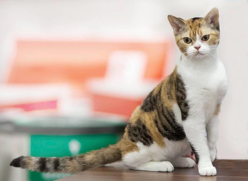 Американская короткошерстная кошка: описание породы, фото, цена