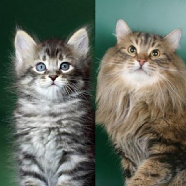 Как меняется окрас у кошек с возрастом