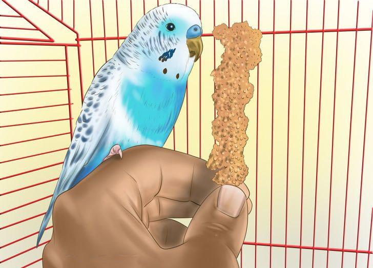 Как приручить волнистого попугая к рукам: самые легкие способы, если он боится