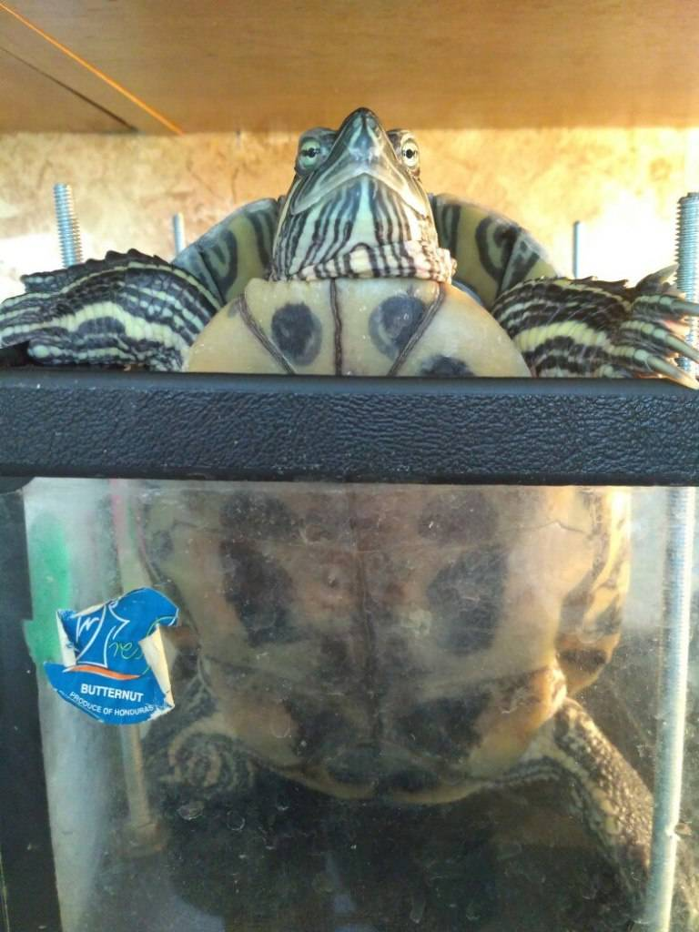 Как спят домашняя морская черепаха