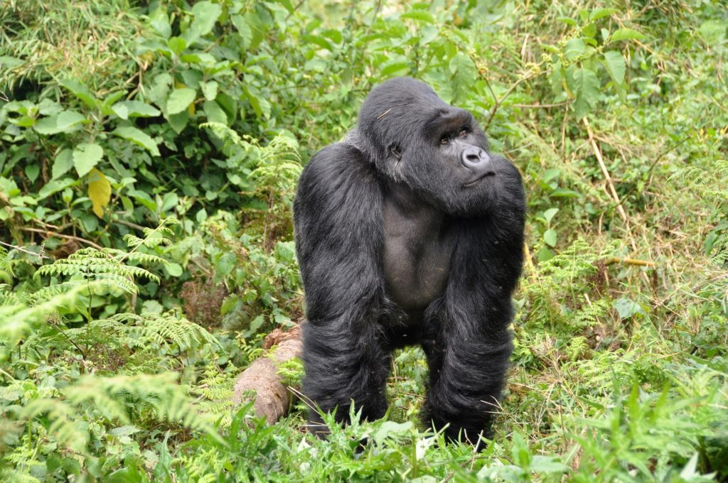 Горилла обезьяна. образ жизни и среда обитания гориллы. фото гориллы - описание гориллы - виды гориллы