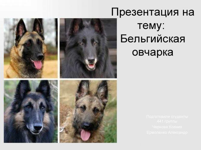 Собака породы немецкая овчарка (140 фото): описание, размеры, окрас, внешний вид, размеры, цена щенка