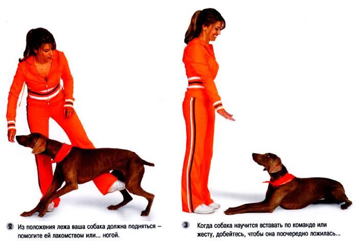 """Как научить собаку команде """"лежать!"""": эффективные методы"""