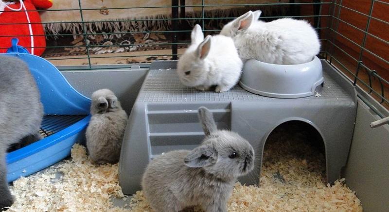 Карликовые кролики: уход и содержание в домашних условиях