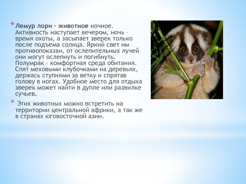 Лемур лори: описание животного, содержание в домашних условиях