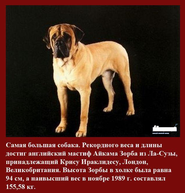 Самая большая собака в мире: топ 7     на всякий случай