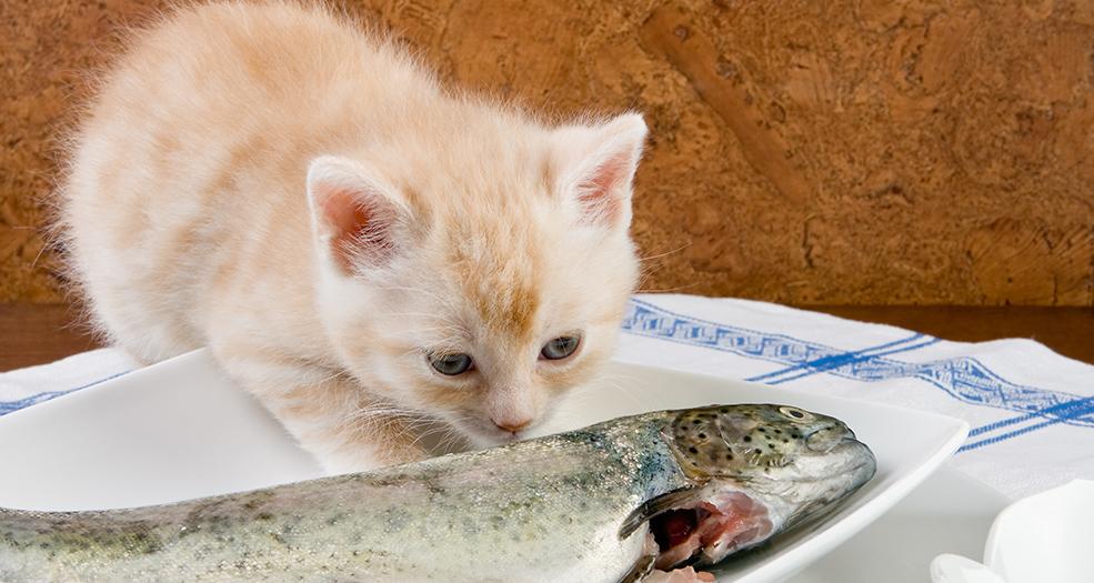 Можно ли кормить кошку сырым мясом? советы по питанию