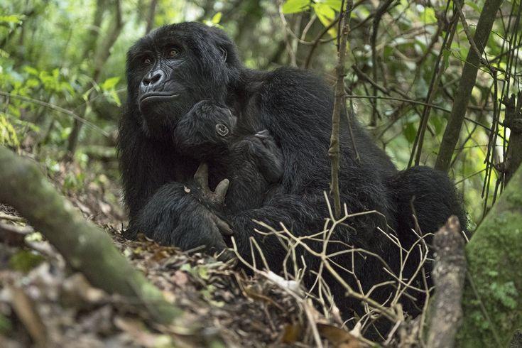 Африканский бородавочник: описание, фото, образ жизни в дикой природе