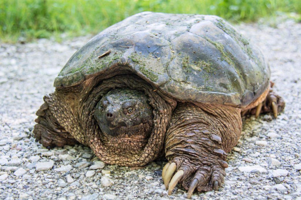 Мускусная черепаха, уход и содержание в аквариуме