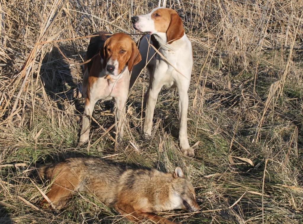 Охота с эстонскими гончими на зайца. охота с эстонской гончей