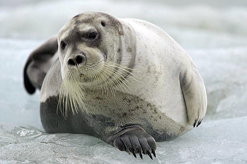 Морской заяц он же лахтак - млекопитающие