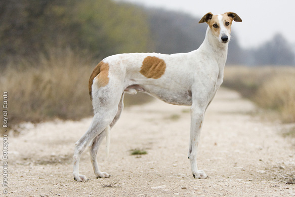 Борзые собаки — список 20 пород с названиями