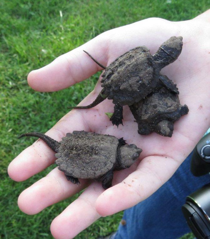Красноухая черепаха: содержание, кормление в домашних условиях