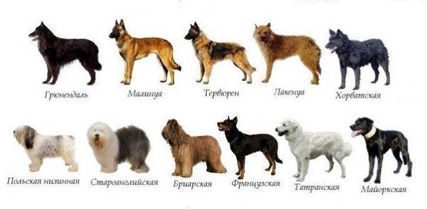 Определение породы собаки по внешнем виду: как узнать породистая или нет по описанию