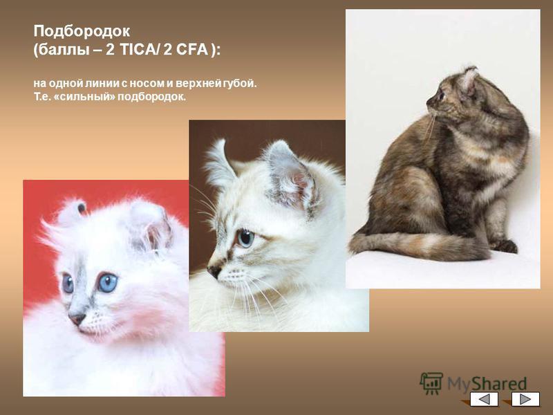 Тонкинская кошка: фото, характеристика породы, цена, темперамент, повадки взрослой кошки и котенка