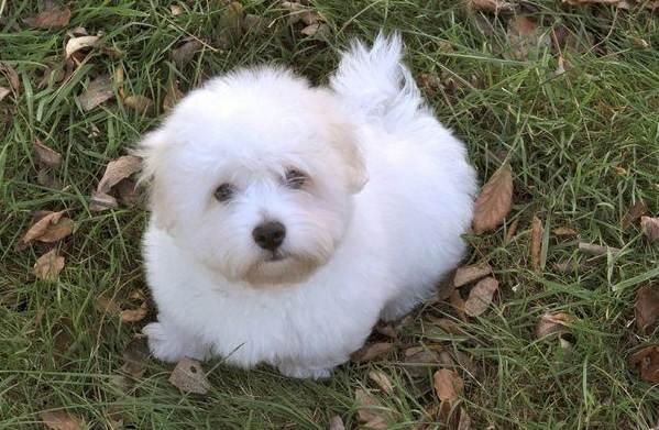 Всё о миниатюрных собаках котон де тулеар - правила содержания, особенности ухода и прочие важные аспекты + фото