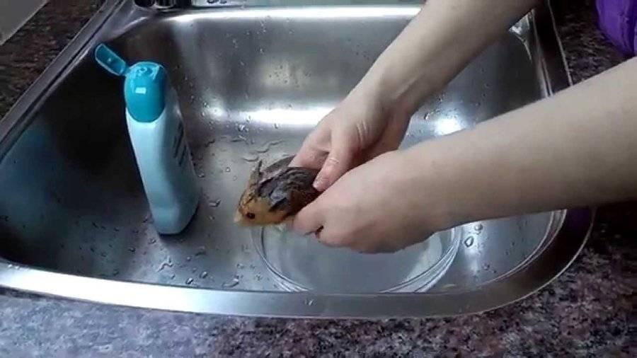 ᐉ можно ли купать хомяков, как мыть в воде в домашних условиях джунгарских и сирийских грызунов - zoopalitra-spb.ru