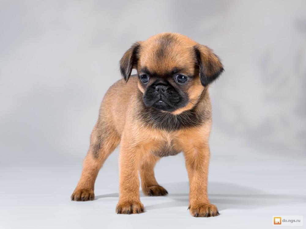 "Гриффон — характеристика породы собак | блог ветклиники ""беланта"""