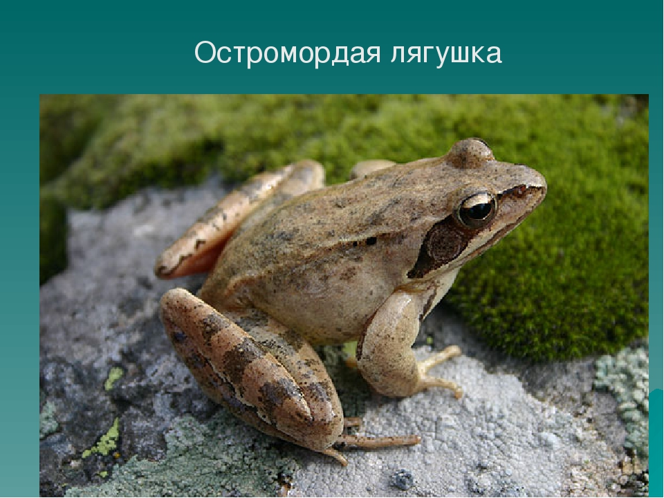 Аквариумные лягушки (21 фото): содержание в аквариуме и уход, описание карликовых и маленьких желтых домашних лягушек. чем их кормить? совместимость с рыбками