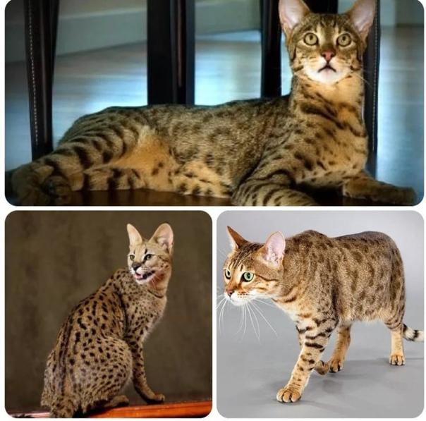 """Экзотическая кошка породы ашера   блог ветклиники """"беланта"""""""
