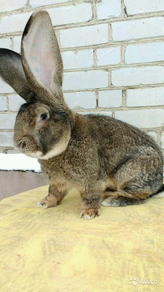 Кролик породы фландр (бельгийский великан): описание породы, фото — selok.info