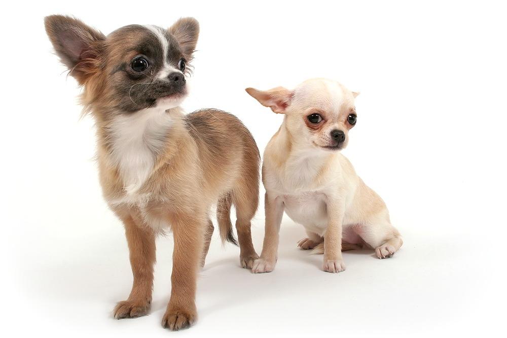 Виды чихуахуа: фото с названиями, описание разновидностей, их особенности, общие черты и различия + типы окраса собак этой породы