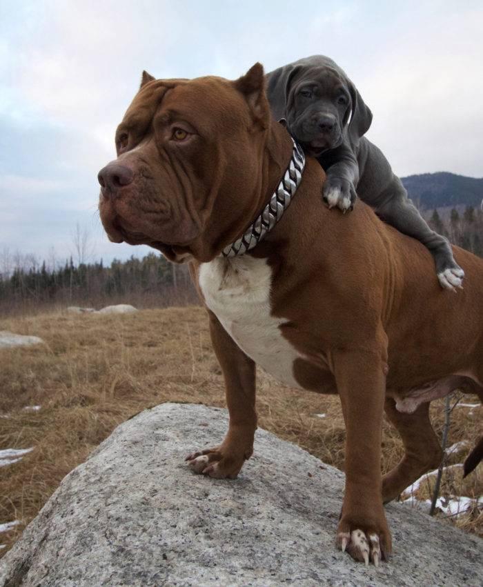 Американский питбультерьер собака. описание, особенности, уход и цена американского питбультерьера