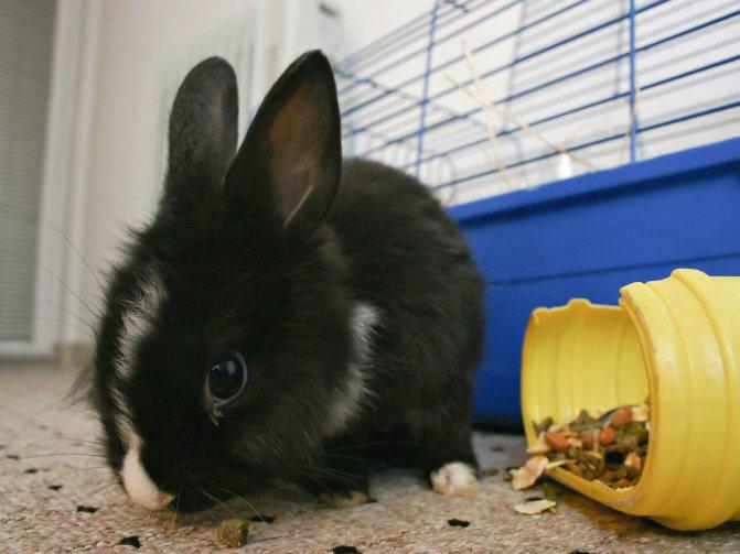 Карликовый кролик в домашних условиях: правила ухода и содержания (120 фото)